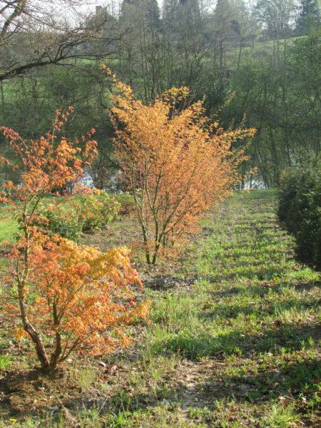 Nos v g taux les p pini res de la roseli re - Erable du japon orange dream ...