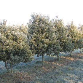 Ilex variegata ferox