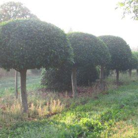 Laurier du Portugal angustifolia dôme sur tige