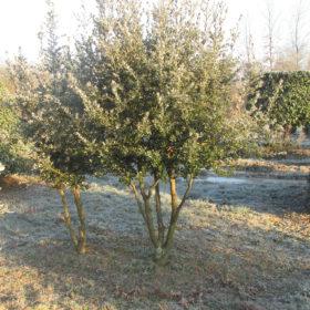 Chêne vert en cépée