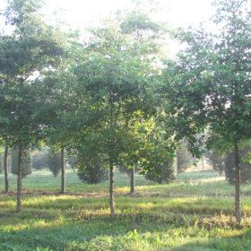 Chêne bicolor