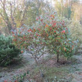 Viorne de burkwood